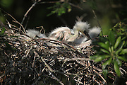 Nesting Birds and chicks