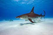 Great Hammerhead Shark, Sphyrna mokarran, swims over the sandy flats offshore South Bimini, Bahamas, North Atlantic Ocean. IUCN Red List