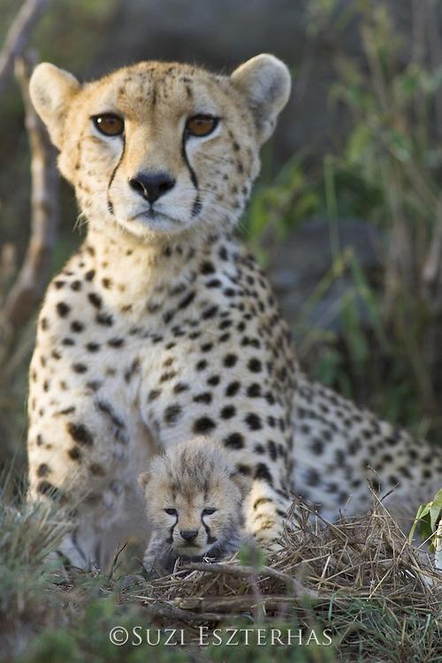 Cheetah<br /> Acinonyx jubatus<br /> Mother and 11 day old cub in nest<br /> Maasai Mara Reserve, Kenya