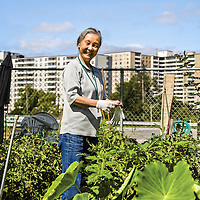 A Chinese senior community gardener standing in her plot, with high rise apartment buildings in the background.