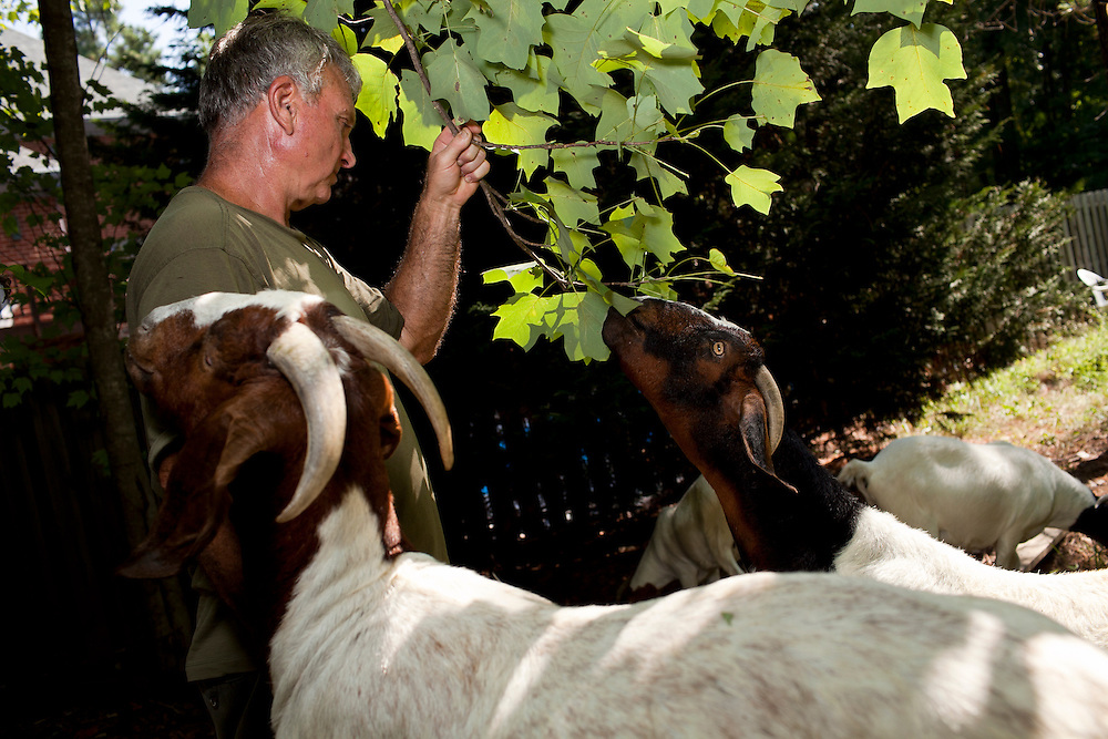 "Farmer Jeff Mullins pulls down a tree branch filled with leafy vegetation to entice his goats to graze around a small area of lot-side easement in Chapel Hill, N.C., Thurs., July 22, 2010. ""They're nothing like a lawnmower,"" said Mullins of his Boer goats. ""They're not going to clear an area in one pass. They may start over there and come back here, then go back over there. They're going to do what they want to do.""..D.L. Anderson for The Wall Street Journal..GOATS"
