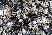These common native mussels are found along the North America's West Coast from Alaska to Baja California in Mexico, and are found in massive colonies on the rocky coastline, often easily seen at low tide above the waterline. Archeological evidence shows these edible mollusks have been an important food source to humans for the past 12,000 years or more. These barnacle-covered mussels were found at low tide on Crescent Beach on Northern Oregon's Pacific Coast.
