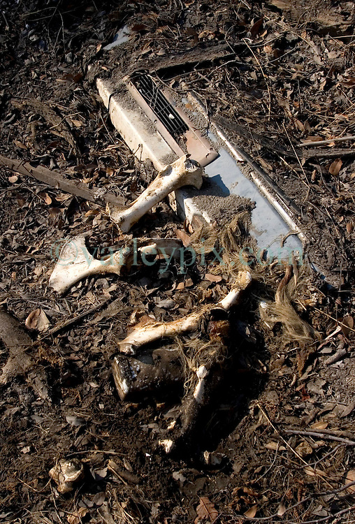 3rd November, 2005. <br /> Bones are all that remain of a stinking, rotting animal carcass deposited by the roadside in Saint Bernard parish just south of New Orleans. Hurricane Katrina caused a 20ft tidal surge to sweep over the land, devastating much of the parish.<br /> Photo; ©Charlie Varley/varleypix.com