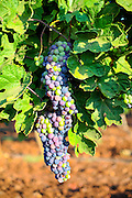 A cluster of red grapes on a vine in a vineyard. Photographed in the Galilee, Israel