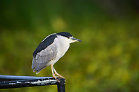 Black-crowned Night Heron (Nycticorax nycticorax) perched on a fishing boat in Lake Chapala, Chapala, Jocotopec, Jalisco, Mexico