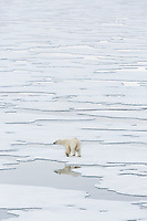 A large Polar Bear (Ursus maritimus) travels amongst ice in search of food. Storfjorden, Svalbard, Norway.