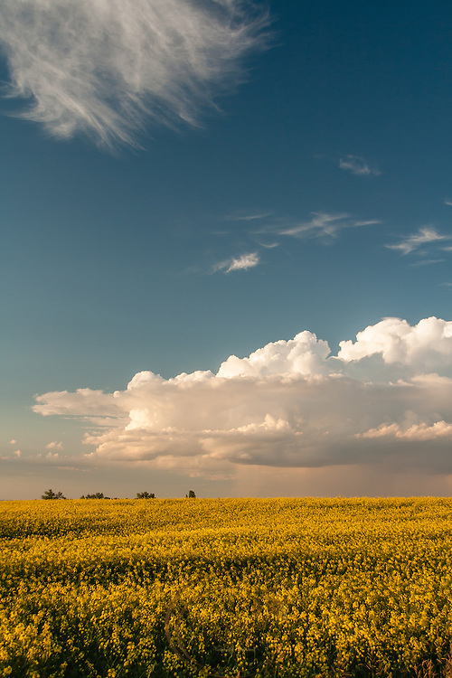 A beautiful canola field set against a Prairie thunderstorm.