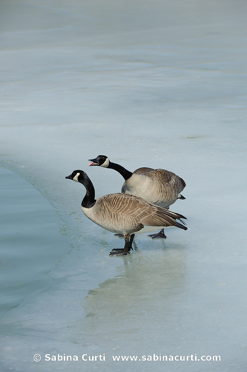 Canadian Geese on ice,  Humber Bay Park, Toronto Ontario