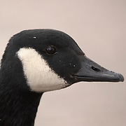 Close up of the head and neck of a wild goose (Branta canadensis) on white background.<br />