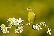 Greenfinch, Carduelis chloris, male perched on blossom