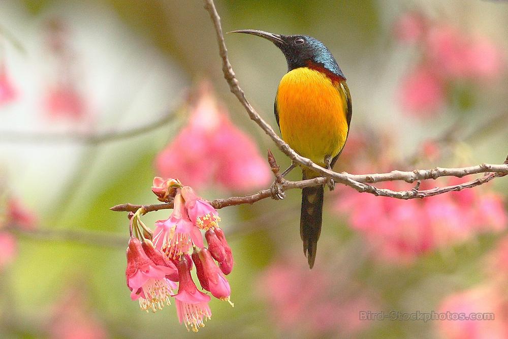 Green-tailed Sunbird, Aethopyga nipalensis, Bhutan, by Markus Lilje