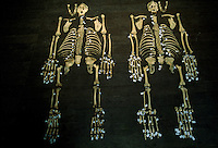 The skeletons of two male orangutans are labeled and laid out for study.