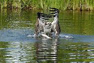 Primary wing feathers bend as osprey starts a powerful back stroke of its wings to fly up from a pond after capturing a fish, © 2015 David A. Ponton