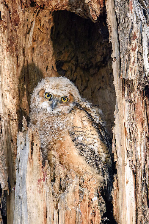 Great Horned Owl (bubo virgianus), Boulder County, Colorado
