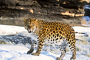 Endangered amur leopard of asia
