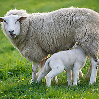 Nederland Barendrecht 5 april 2009 20090405 Foto: David Rozing ..Jonge lammetjes drinken bij moeder schaap  in de wei, lente, lenteweer.Little lambs feeding drinking in field in springtime..Foto: David Rozing