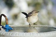 01395-02114 Northern Mockingbird (Mimus polyglottos) at heated bird bath in winter Marion Co.  IL