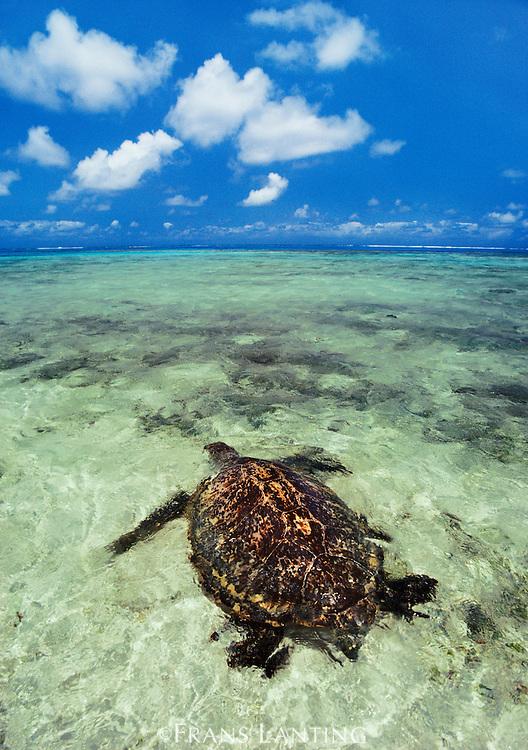 Green sea turtle in lagoon, Chelonia mydas, Hawaiian Leeward Islands