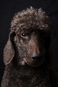 Portrait of a pedigree Female Brown miniature poodle with traditional hair cut