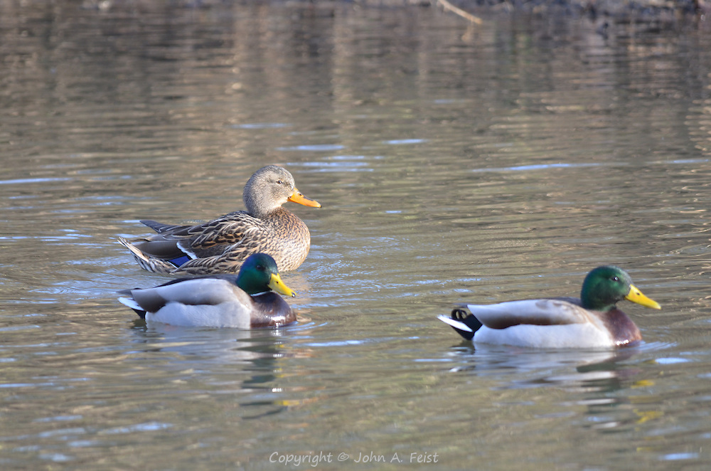 Three ducks (duck and 2 drakes) swimming on the D and R Canal to celebrate the new year