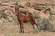 Wild fillie has just risen off the ground in rugged landscape of northwestern New Mexico, © 2012 David A. Ponton
