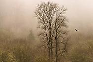 Bald eagle gliding through mist - Skagit Valley, WA