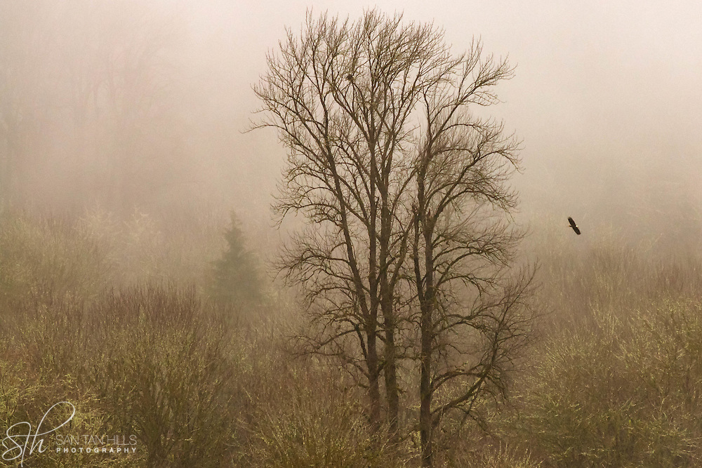 Bald eagle gliding through mist - Skagit Valley, WA