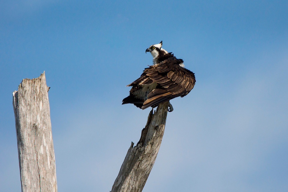 Ospreys are smaller than bald eagles and usually share the same habitats.  This osprey was taken Florida.