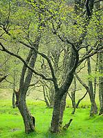 Birch trees along the River Nevis, Glen Nevis Scotland