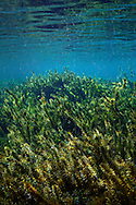 Hydrilla<br />