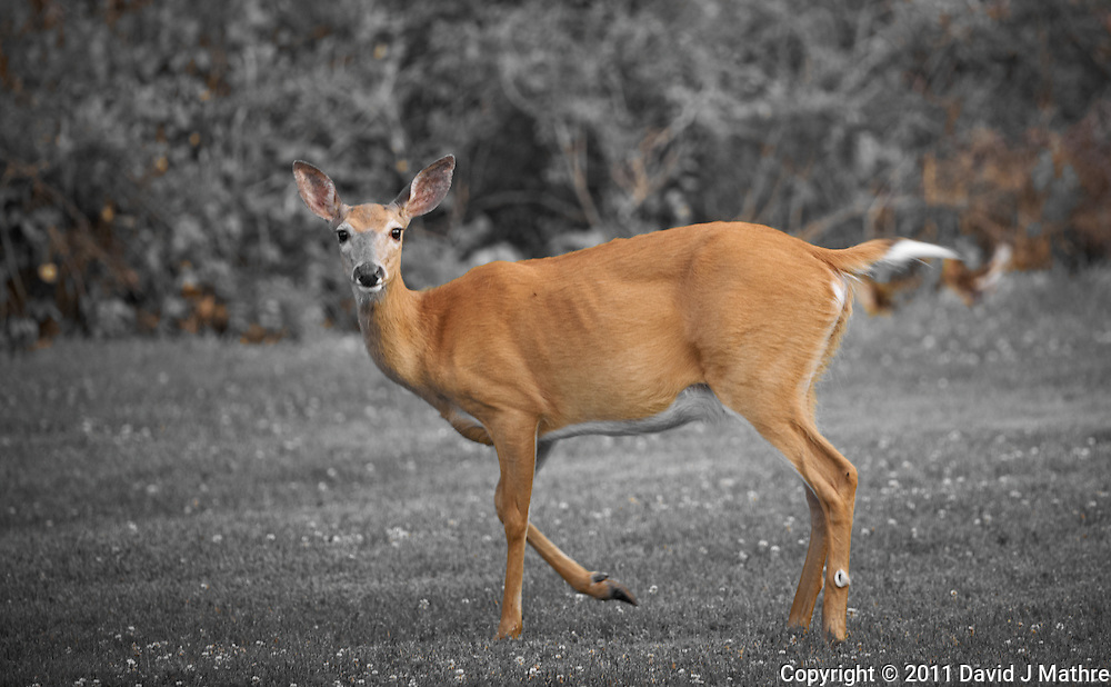Deer in New Jersey. Image taken with a Nikon D3x and 500 mm f/4 lens (ISO 400, 500 mm, f/4, 1/200 sec). Image processed with Capture One 6 Pro.