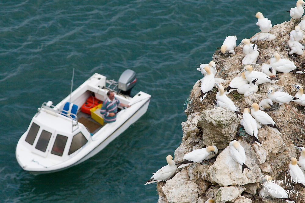 Gannet colony with fishing boat and fisherman in the background Bempton Cliffs RSPB, June