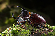 Rhinoceros Beetle (Augosoma [prev. Dynastes] centaurus)<br /> Mbomo<br /> Odzala - Kokoua National Park<br /> Republic of Congo (Congo - Brazzaville)<br /> AFRICA