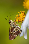 Lace-winged Roadside-Skipper (Amblyscirtes aesculapius)<br /> FLORIDA: Orange Co.<br /> Wekiwa Springs State Park; Apopka<br /> 28-Sept-2016<br /> J.C. Abbott &amp; K.K. Abbott