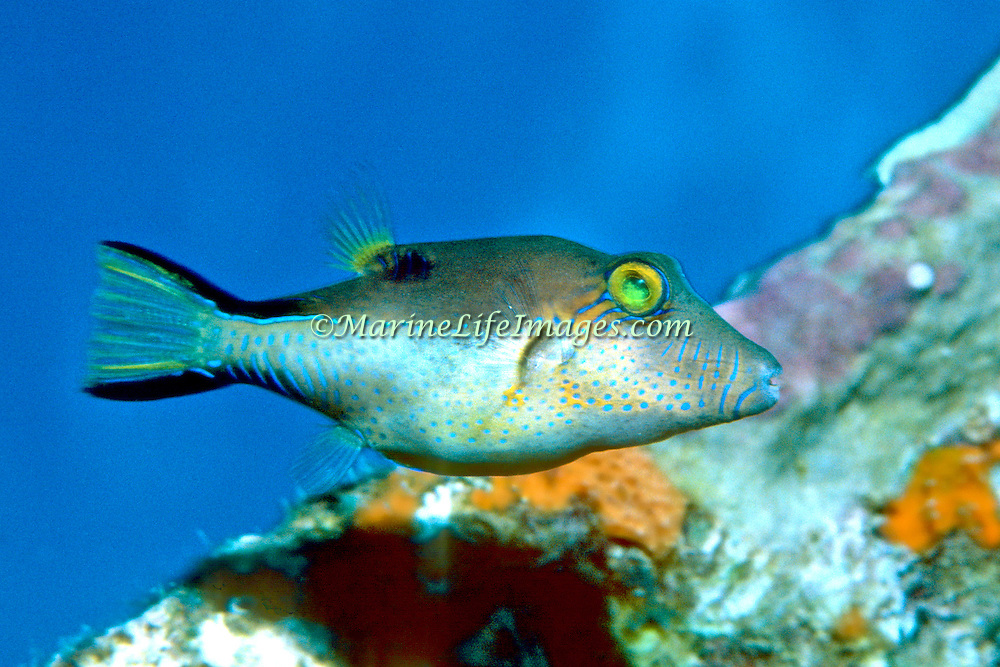 Sharpnose Puffer swim about reefs and seagrass beds in Tropical West Atlantic; picture taken Grand Cayman.