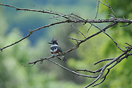 Belted Kingfisher perched on some small branches in Ithaca, NY.