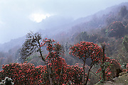 Rhododendron forests of Nepal