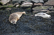 seals in Belfast's harbour