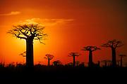 Baobab trees at sunset, near Morondava, west Madagascar