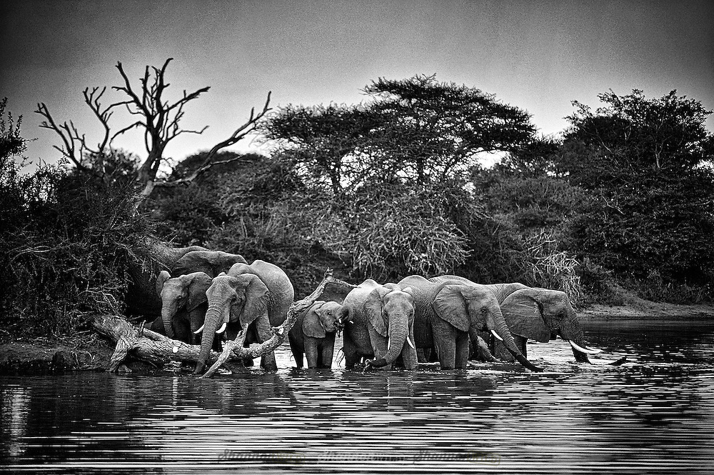 Elephant herd drinking at a dam.