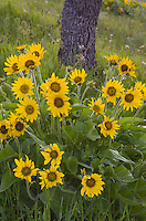 Balsamroot (Balsamorhiza deltoidea), Rowena Crest, Columbia River Gorge National Scenic Area, Oregon