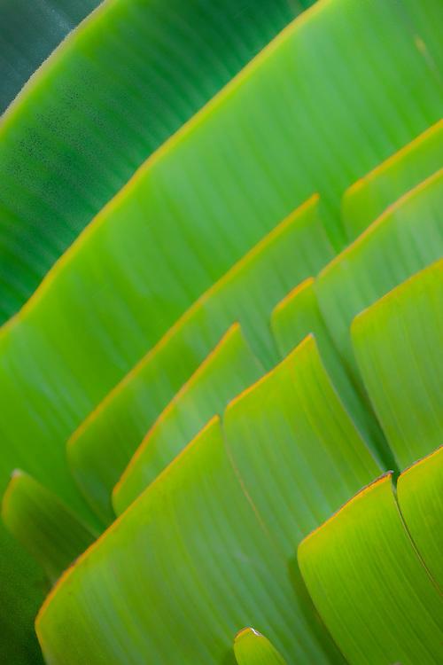Design of Traveller's Palm leaves