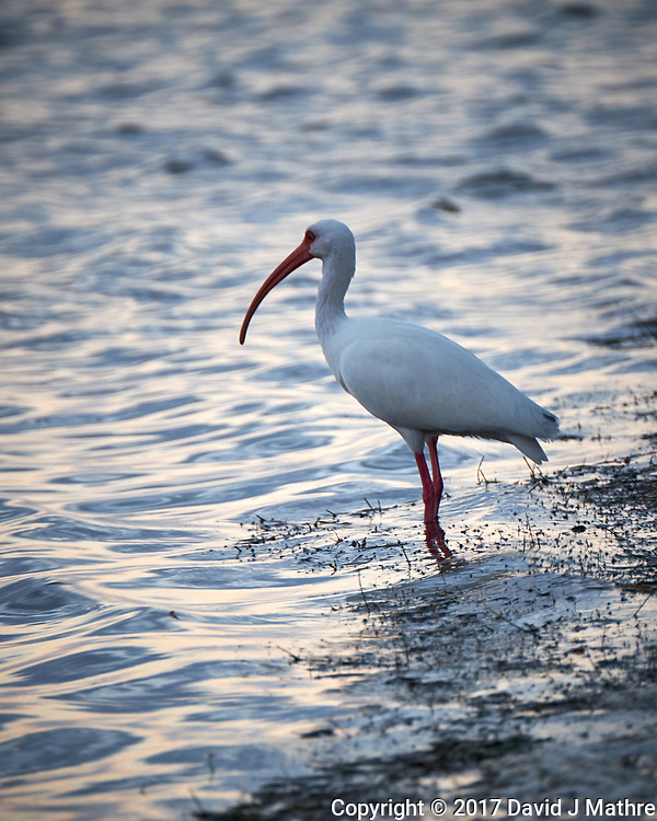 White Ibis at the edge of the water. Sunrise at Fort De Soto Park. Pinellas County, Florida Image taken with a Fuji X-T2 camera and 100-400 mm OIS lens (ISO 500, 400 mm, f/5.6, 1/60 sec).