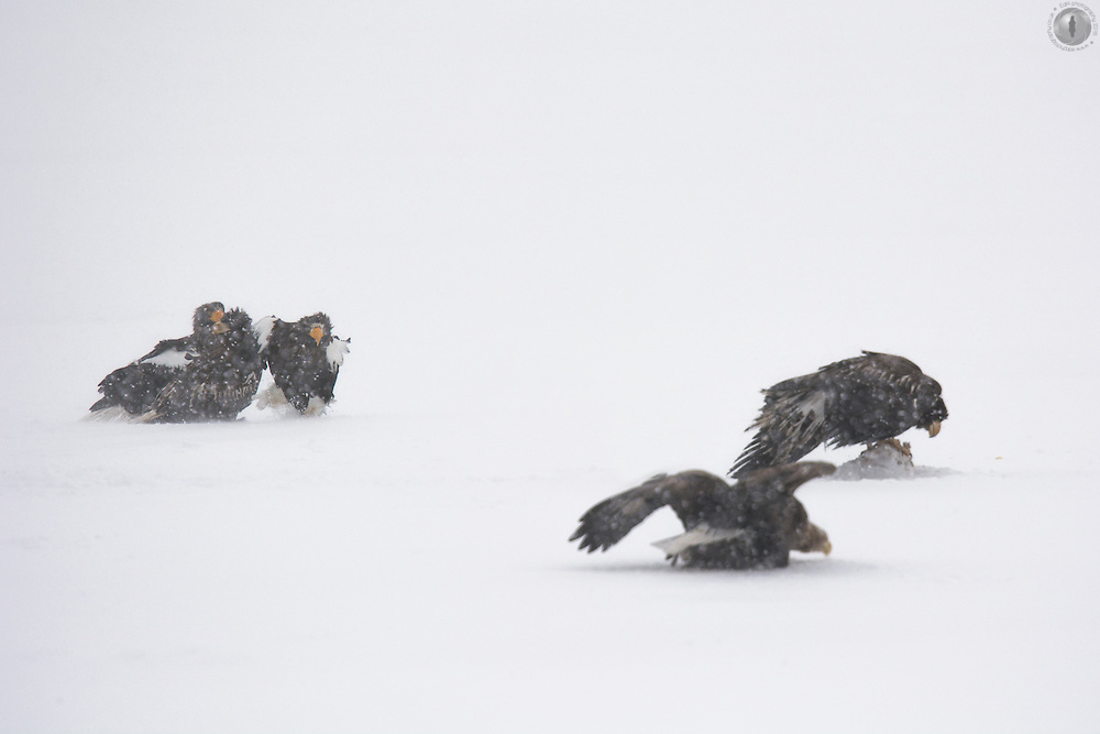 An adult Steller's sea eagle creeping up on a juvenile while fighting over some frozen fish in eastern Hokkaido.
