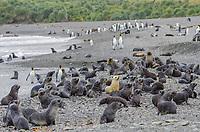 Leucistic Antarctic fur seal pup hauled out on the beach at Husvik Bay on South Georgia.