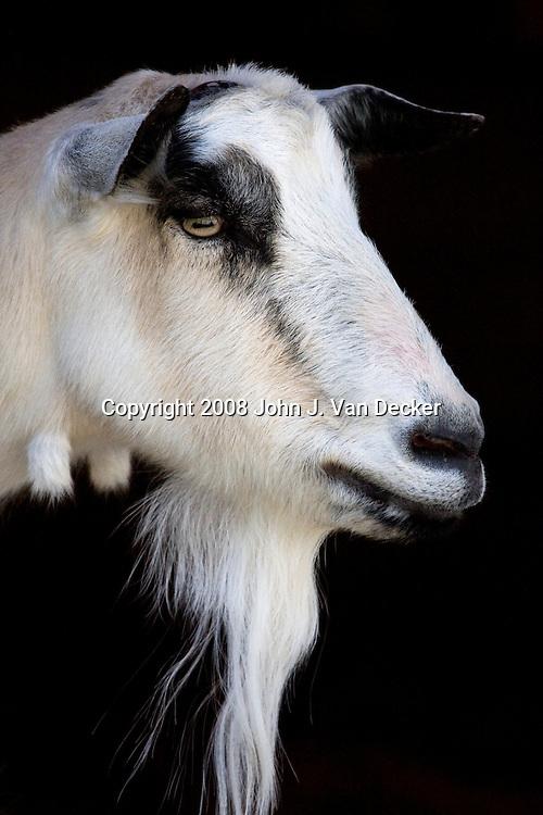 Goat, closeup of head