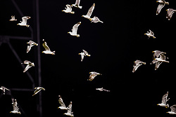 Seagulls, AT&T park 2014.