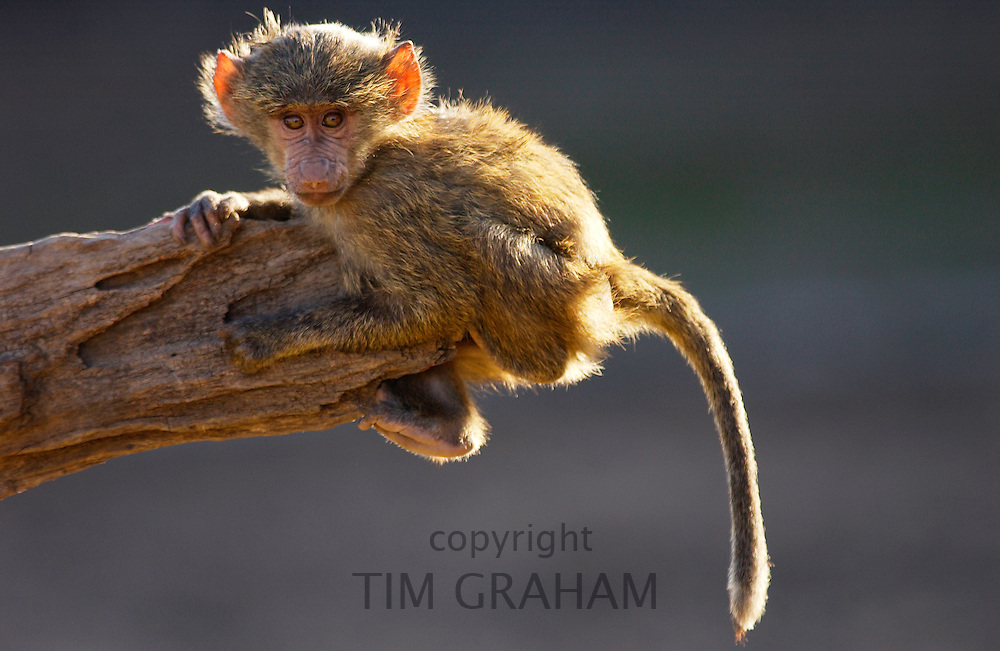 A baby  Olive Baboon hanging on the end on a branch. Grumeti, Tanzania