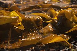 Kelp Detail, Stuart Island, Washongton, US