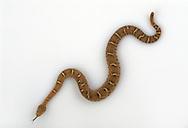 Arizona Ridge-nosed Rattlesnake, Crotalus willardi willardi, studio portrait, studio portrait, ideal for cutout
